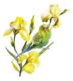 Loro verde que se sienta en la ramita del iris amarillo en el fondo blanco WA Foto de archivo libre de regalías