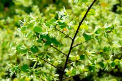 Loropetalum chinense stock afbeelding