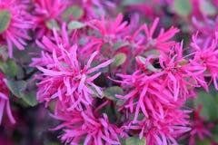 Loropetalum chinense is genoemd geworden Chinese rand-bloem stock afbeeldingen