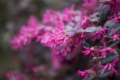 The Loropetalum chinense rubrum, China Pink in the park Royalty Free Stock Image