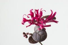Loropetalum-chinense var.rubrum Lizenzfreie Stockfotos