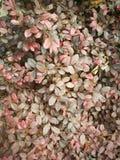 Loropetalum chinense var.rubrum Royalty Free Stock Images