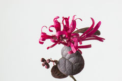 Loropetalum chinense var.rubrum Royalty Free Stock Photos