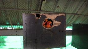 Loros anaranjados que miran nidal almacen de video