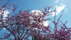 loros Anillo-necked del periquito que comen las flores rosadas del árbol de Judas almacen de video