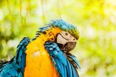 Loros Azul-y-amarillos del Macaw Fotografía de archivo