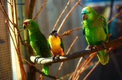 Loros coloreados verdes y amarillos en rama Fotos de archivo