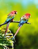 Loros coloridos del Macaw Foto de archivo libre de regalías