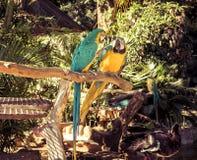 Loros coloridos del Macaw en amor fotos de archivo libres de regalías