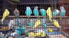 Loros de las cotorras rizadas en célula Pájaros coloridos en el mercado del animal doméstico metrajes