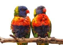 Loros del arco iris en rama Fotografía de archivo libre de regalías
