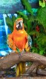 Loros del Macaw Fotos de archivo libres de regalías