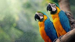Loros del Macaw en rama en paisaje tropical almacen de video