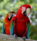 Loros en colores vivos del rojo con el tacto del azul Fotografía de archivo