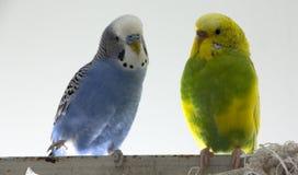 Loros ondulados del beso Poco los pájaros se tocó y x27; picos de s fotografía de archivo libre de regalías