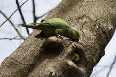 Loros que juegan Peekaboo - jerarquice el agujero en un árbol - la India Bangalore fotos de archivo