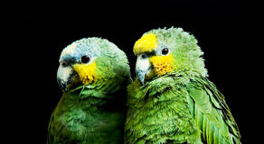 Loros verdes Fotos de archivo