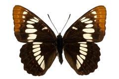 lorquini limenitis Стоковое Изображение RF