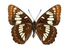 lorquini limenitis Стоковые Фотографии RF