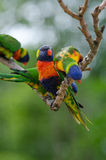 Lorrikeet in a tree. Three beautifull colored lorrikeets in a tree Stock Photos