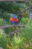 Lorrikeets ensemble dans le pin de la Norfolk image stock