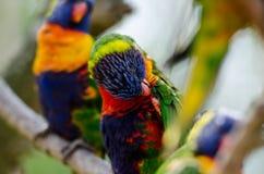 Lorrivogels in een boom Stock Afbeeldingen