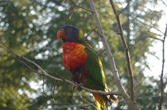 Lory 2 Royalty Free Stock Photos