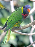 Lory 3 Royalty Free Stock Photo