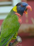 Lory Bird Stock Images