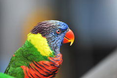 Lory Bird. A closeup photo taken on a rainbow lory bird at a park Royalty Free Stock Photography