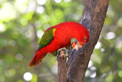 Lory bird eating Royalty Free Stock Photography