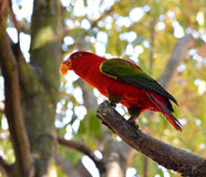 Lory bird eating Stock Image