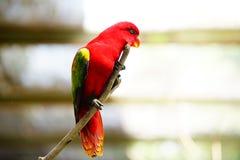 Lory Bird roja Imagenes de archivo