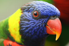 Lory Colourful Fotografie Stock