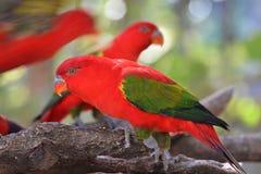 Lory czerwieni ptak Zdjęcie Stock
