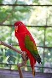 Lory de vibration - un perroquet rouge avec les ailes vertes Photographie stock libre de droits