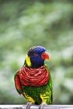 Lory del arco iris en el parque Imagenes de archivo