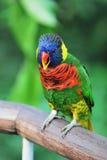 Lory do arco-íris fotografia de stock