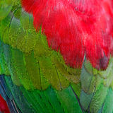 Lory Keet feather Stock Images
