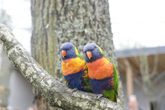 Lory, lorikeets Royalty Free Stock Images