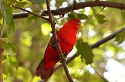 Lory na drzewie Obraz Royalty Free