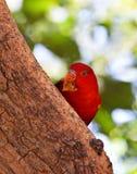 Lory na drzewie Zdjęcie Royalty Free