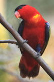 lory naped purpury Fotografia Royalty Free