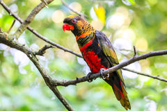Lory obscuro Imagens de Stock Royalty Free
