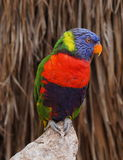 Lory Parrot Stock Photography