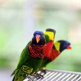 Lory parrot Stock Photos