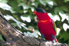 Lory pourpre-naped Photos libres de droits