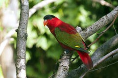 Lory pourpre-naped Photographie stock
