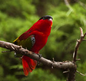 Lory pourpre-naped Photo libre de droits