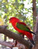 Lory red bird Stock Image
